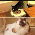 Toilet training a cat – pros, cons & guide