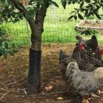 Raising Chickens: Pros and Cons